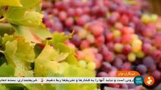 Iran Grapes harvest, Siah-Gel village, Eyvan county برداشت انگور روستاي سياه گل شهرستان ايوان ايران