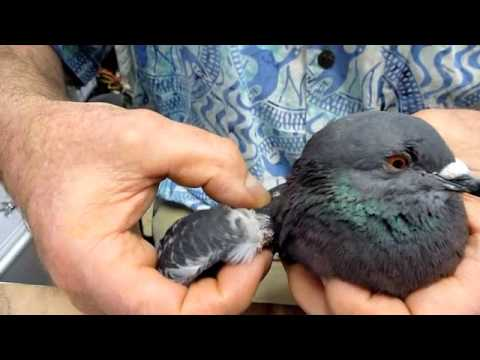 Xxx Mp4 Help For Pigeon With Droopy Wing Unable To Fly 3gp Sex