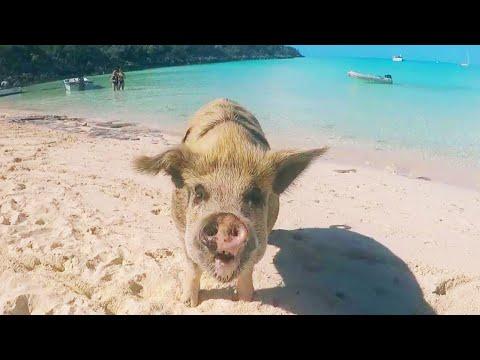 Xxx Mp4 Model Gets Bitten By Pig In Bahamas 3gp Sex