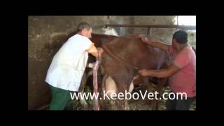 Retained Placenta In Cow, Watch How Veterinarian Doctor Helps