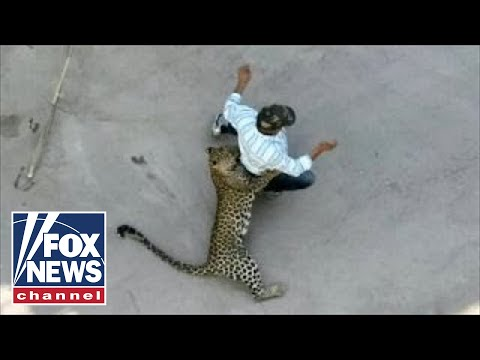 Xxx Mp4 WILD Video Leopard Attacks Residents In Indian City 3gp Sex