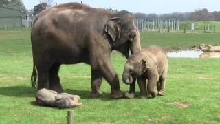 2 Week Old Asian Elephant Calf @ ZSL Whipsnade Zoo