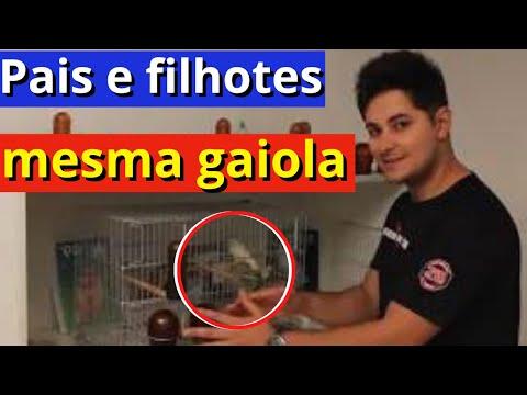 Samuel Valentim Manejando pais e filhotes na mesma gaiola canaricultura