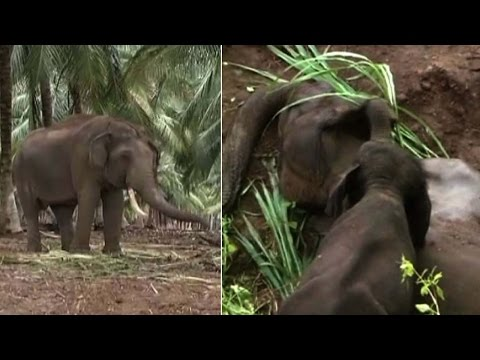 Baby elephant returns in search of dead mother