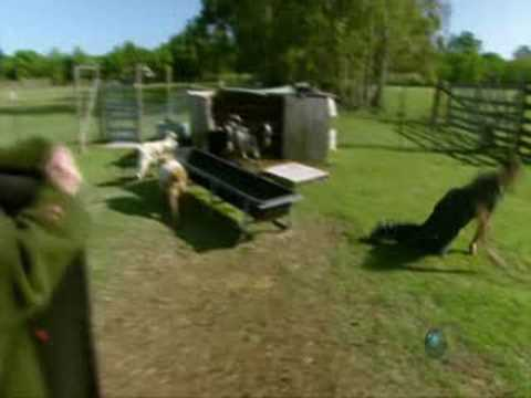Mythbusters Kari strips to try to make goats faint