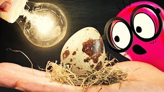 EXPERIMENT: Hatching Eggs from a Grocery Store!