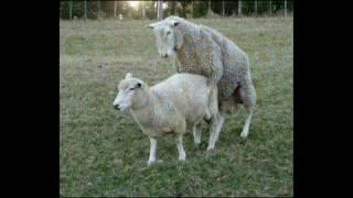 Sheep Mating Behavior