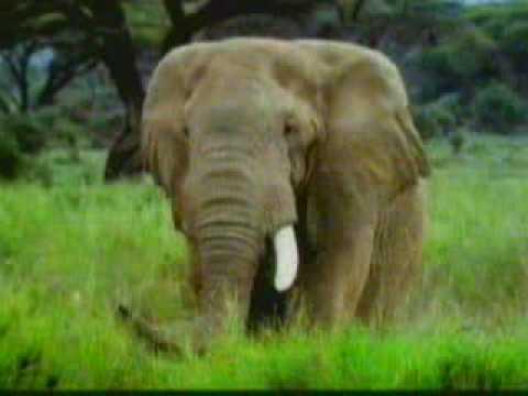 briga de elefantes.wmv