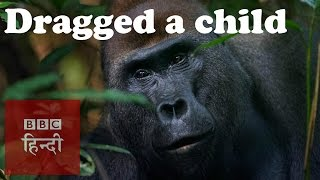 When a Gorilla dragged a kid (BBC Hindi)