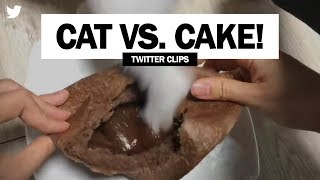 Cat vs. Chocolate Cake! | Funny Video on Twitter