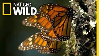 Go Into the Heart of a Kaleidoscope of Butterflies | Nat Geo Wild