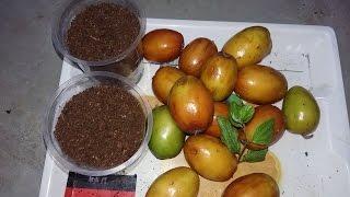 108# Ber fruits benefit  || apple bor grow from seeds|| बेर कैसे उगाये