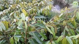 Perbedaan Bibit Durian Musang King, Merah Dan Montong