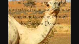 Sahara Desert Animals Video