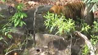 2014 - Ranthambore Tiger Sighting - HD