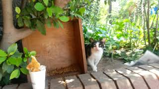 Funny cat videos / stary cat thinks it is tiger