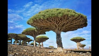 Unusual trees of the planet