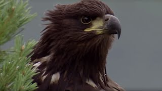 Young Eagle Learns how to Fly   BBC Earth