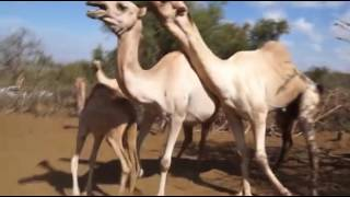 African Camel Mating