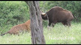 Tiger Hunts Large Gaur [NEW FOOTAGE]