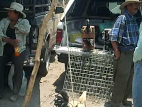 Tianguis ganadero Texmelucan Puebla