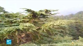 أشجار الأرز في لبنان تواجه تهديدا بالانقراض..والسبب؟
