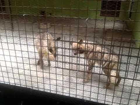 Stripped Hyena That Kills Lion Rare & Unseen In Nigeria