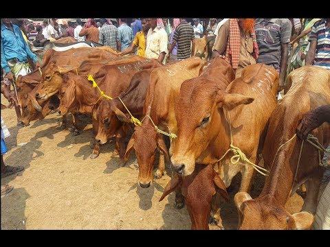 Xxx Mp4 618 Indian Cow Calves।উন্নত জাতের সেরা ইন্ডিয়ান ষাঁড় গরুর আমদানি ব্যাপক এবং দামেও কম 3gp Sex
