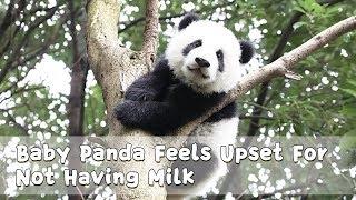 Baby Panda Feels Upset For Not Having Milk | iPanda