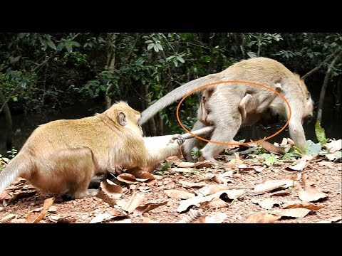 OMG You will cry. break heart when see video How very bad kidnapper do on baby monkey Amara