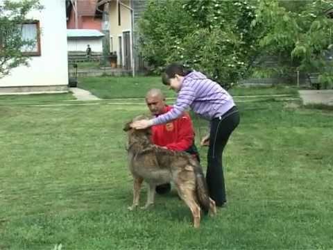 Vuk i sarplaninac zajedno u dvoristu WOLF AND DOGS