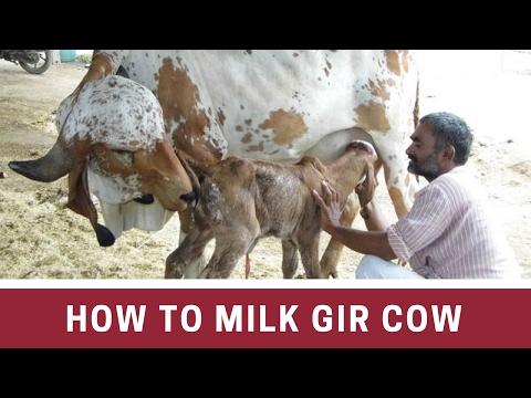 How Gir Calf drinking milk from Mother