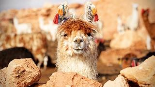 Funny Llamas 🐦 Llamas Spitting on People [Funny Pets]