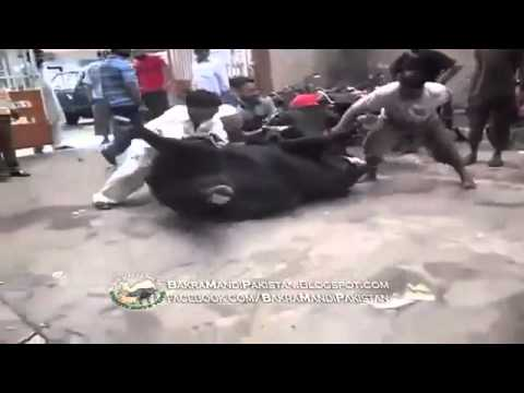 Cow Run After Qurbani on bakra Eid 2013 HD