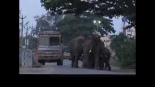 Forest Elephant in Hosur Town(Tamil Nadu)