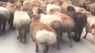 رقص شعبي ولا اروع فين يبانو شيخات الاطلس