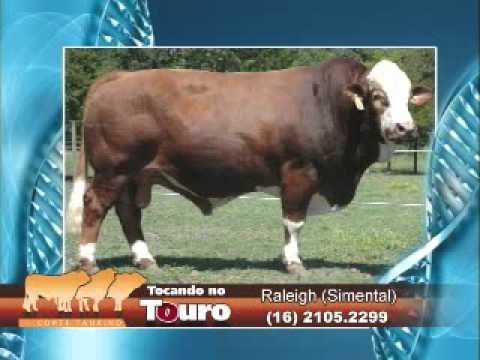 Tocando no touro Raleigh Simental