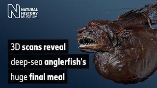 3D scans reveal deep-sea anglerfish