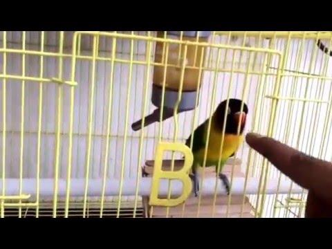 Xxx Mp4 Love Bird Dakocan Berjoget Hot Video Mp4 3gp Sex