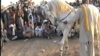 Horse Dance (1): Fare Hasil Wala ( Haji Syed Ghulam Akbar Gillani)