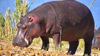 Hippopotamus: Animals for Children Kids Videos Kindergarten Preschool Learning Toddlers Sounds Songs