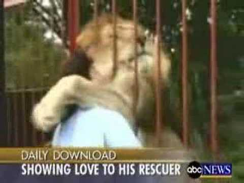 Pussy cat Lion kissing his rescuer