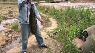 Câu cá lóc ( câu nhắp) nặng 3.2kg 21/5/2017