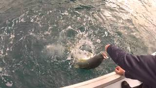 Kingfish on Taniwha hpx 603
