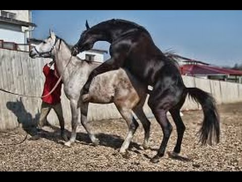 Black Horse Mating , HORSE MATING