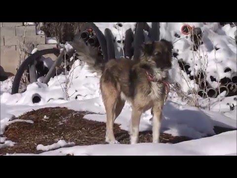 Karaman Kisecik Köyü Köpek Belgeseli