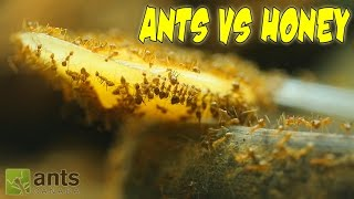 ANTS VS. HONEY | An Update on My Ant Colonies