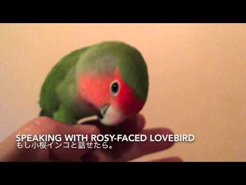 Speaking with rosy-faced lovebird. もし小桜インコと話せたら。
