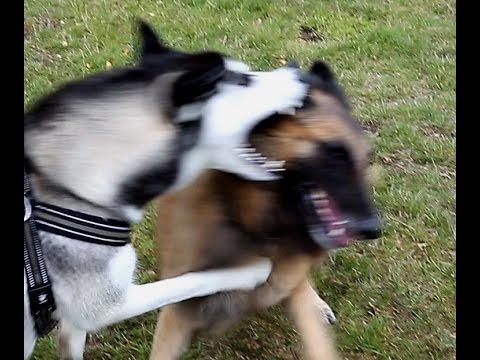 Siberian Husky vs Tervueren Belgische herdershond Belgian Shepherd