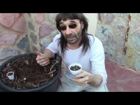 Cómo y cuando sembrar marihuana autofloreciente.